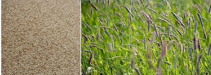 http://gazonov.com/images/upload/Phleum_gos.jpg