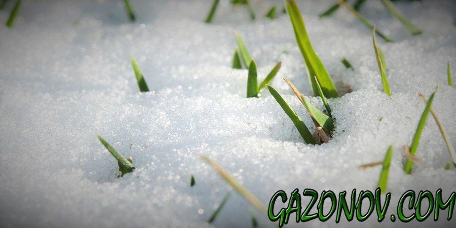 http://gazonov.com/images/upload/gazonzimoj.jpg