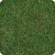 Что такое полевица побегоносная: описание травы, как выглядит, где используется