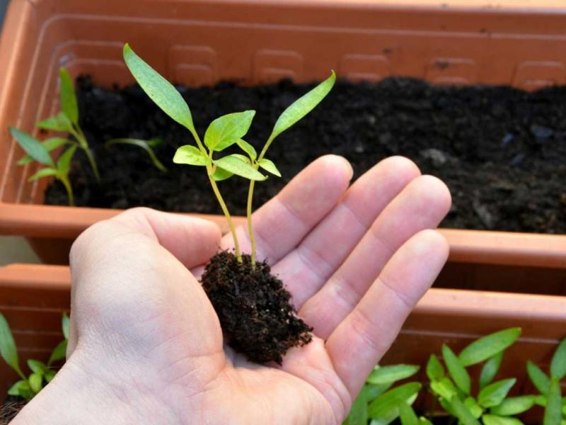 Удобрение Фертика для рассады
