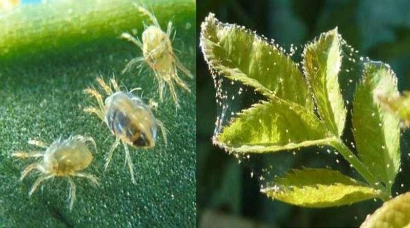 Фитоверм от паутинного клеща на огурца