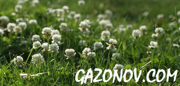 https://gazonov.com/images/upload/White_Clover_gazon1.jpg