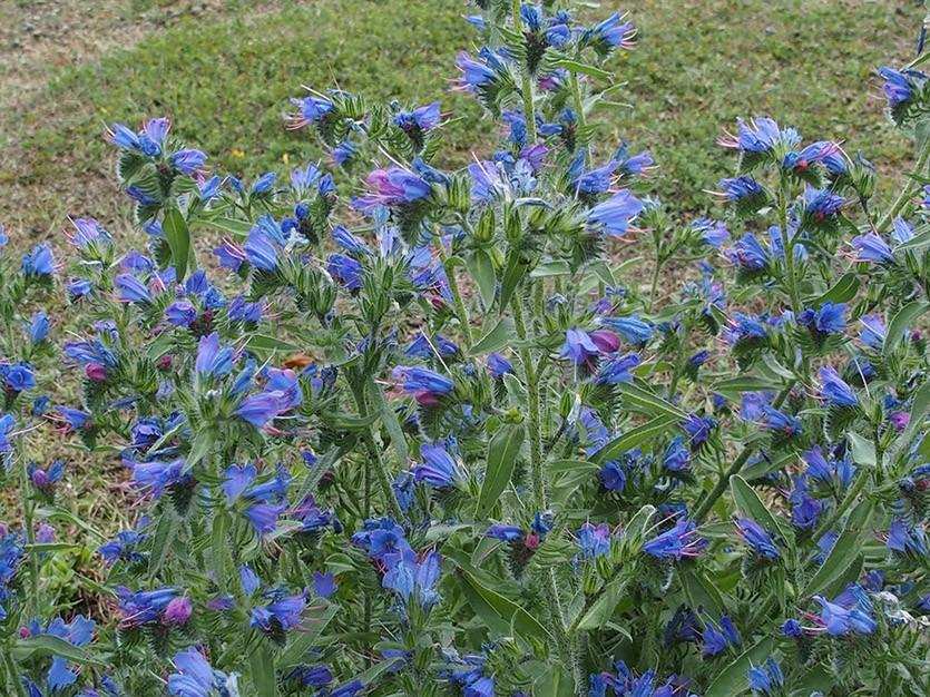 растение синяк обыкновенный