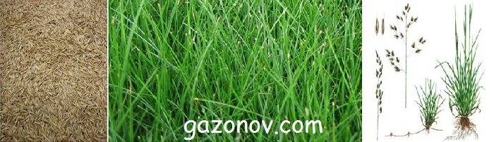 https://gazonov.com/images/upload/ovsyanitca-krasnaya-opisanie.jpg